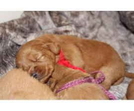 Adorable labradoodle puppies litter