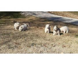 Five full-blooded Husky puppies for sale