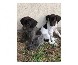 1 Male 1 Female German Shorthaired Pointer Puppies