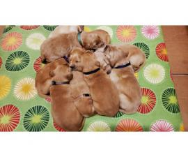 AKC golden Retriver puppies for Adoption