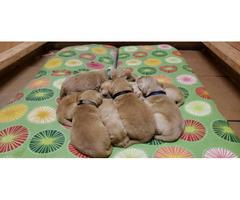 AKC golden Retriver puppies for Adoption