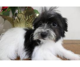 Maltese Yorkie Puppy Looking for home