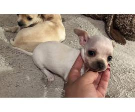 2 beautiful little chihuahua babies