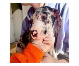 3 Great Dane puppies available to be rehomed