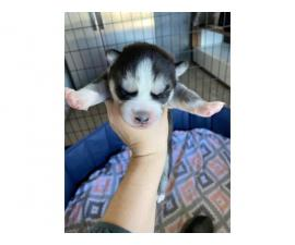 One gorgeous girl Husky puppy available
