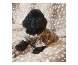 Lovely Cocker Spaniel puppies for sale