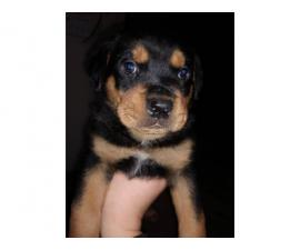 Purebred Rottweiler puppies looking for their forever home