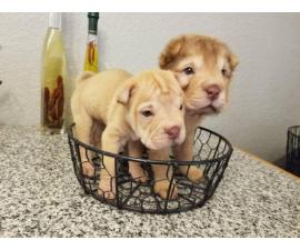 2 adorable mini Shar pei puppies for sale