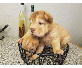2 Adorable Mini Shar Pei Puppies For