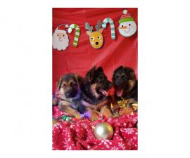 AKC German Shepherd puppies 2 girls and a boy
