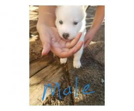 4 Lovely gorgeous Siberian Husky puppies for good home