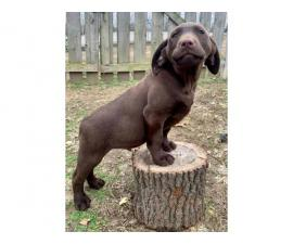 One male chocolate lab puppy available