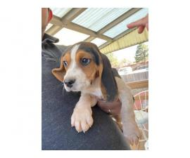 Two cute beagle puppies for sale