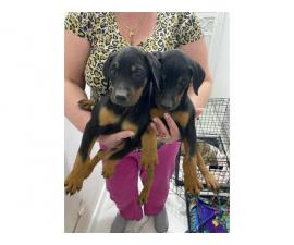 2 months old Doberman puppies for sale