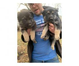 Litter of German Sheperds for Sale