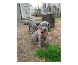 Gorgeous blue-eyed Weimaraner puppies waiting for their new home