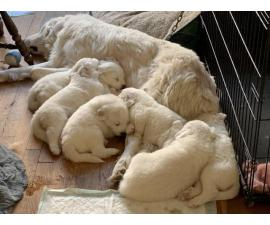 Great Pyrenees Puppies purebred, full-blood