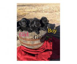 Family raised Lab Puppies for sale