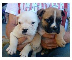 3 boys, 1 girl Adorable Valley Bulldog