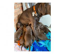 5 males and 4 females AKC Chocolate Labrador Puppies
