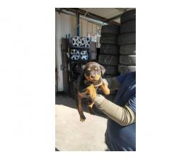American rottweiler puppies for sale