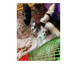 5 Aussie Husky Puppies need rehomed
