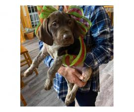 AKC German Shorthaired puppies Males and female