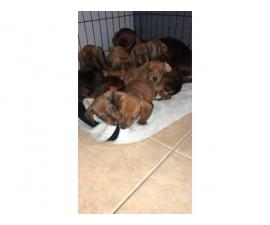 One male mini dachshund puppy for sale