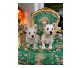 2 males West Highland White Terrier Puppies available