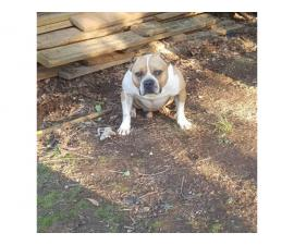Pocket size American bullies for sale