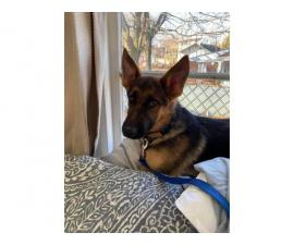 7 month old German Shepherd puppy looking for new home