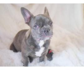 3.5 months old Male French bulldog puppy