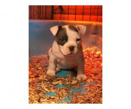 Gorgeous white female American bully puppy up for sale