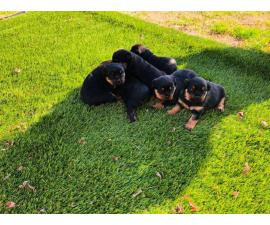7 beautiful fullblooded, German Rottweiler puppies