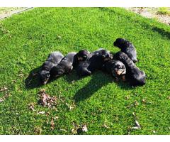 7 beautiful fullblooded, German Rottweiler puppies
