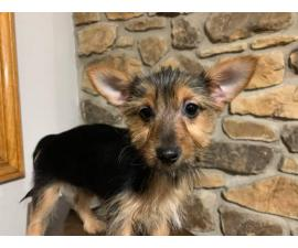 15 weeks old Yorkie chihuahua mix puppy available