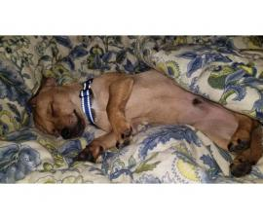 Adoptable Male chiweenie puppy
