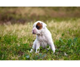 4 female white boxer puppies for sale