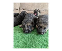 5 Gorgeous AKC German shepherd puppies