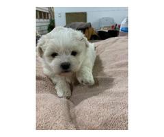 5 weeks old Teddy bearpuppies