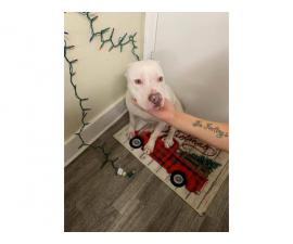 7 month old stunning white female pit bull puppy