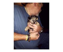 4 Morkie poo puppies need good home