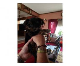 4 Morkie poo puppies need good home