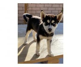 Two 9 weeks old female huskies for adoption