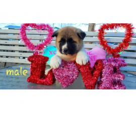 Akita Valentine's day puppies available