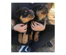 German Rottie puppies ready for adoption