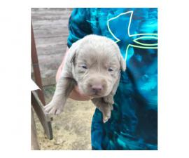 AKC Silver Lab Puppies