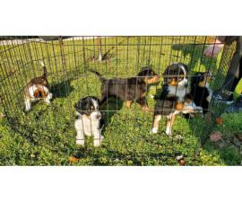 Family raised Bernedoodle puppies for sale