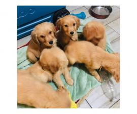2 months old full breed golden retriever puppies