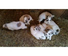 7 Livestock Great Pyrenees Puppies